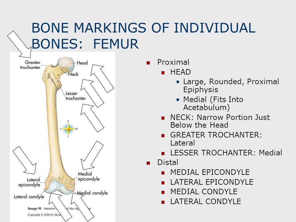 BONE MARKINGS OF INDIVIDUAL BONES: FEMUR Proximal HEAD Large, Rounded, Proximal Epiphysis Medial (Fits Into Acetabulum) NECK: Narrow Portion Just Belo