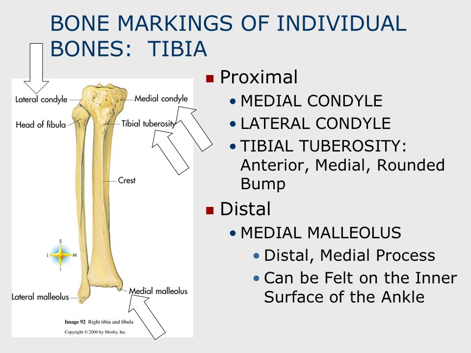 BONE MARKINGS OF INDIVIDUAL BONES: TIBIA Proximal MEDIAL CONDYLE LATERAL CONDYLE TIBIAL TUBEROSITY: Anterior, Medial, Rounded Bump Distal MEDIAL MALLE