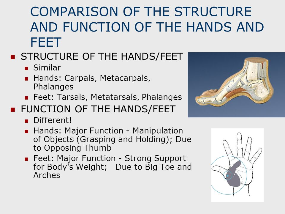 COMPARISON OF THE STRUCTURE AND FUNCTION OF THE HANDS AND FEET STRUCTURE OF THE HANDS/FEET Similar Hands: Carpals, Metacarpals, Phalanges Feet: Tarsal
