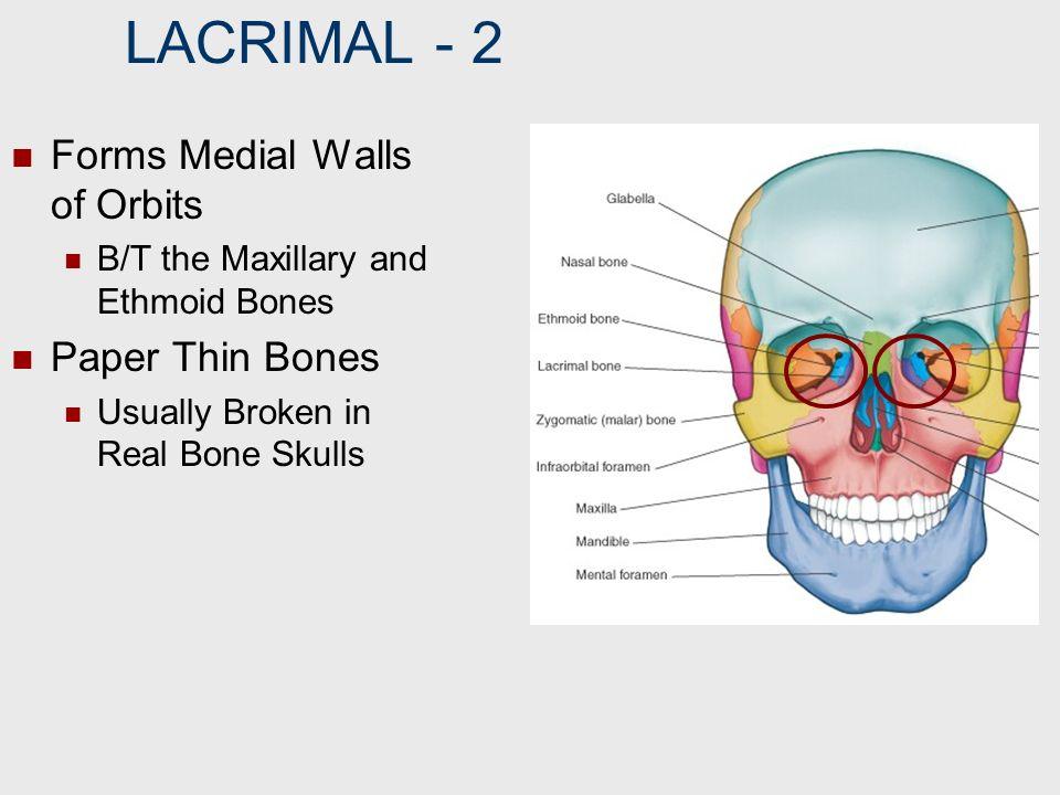 LACRIMAL 2 Forms Medial Walls of Orbits B/T the Maxillary and Ethmoid Bones Paper Thin Bones Usually Broken in Real Bone Skulls