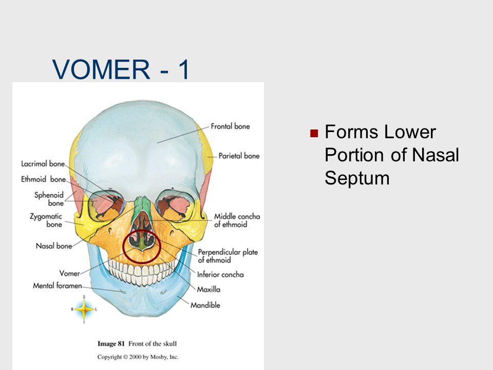 VOMER 1 Forms Lower Portion of Nasal Septum