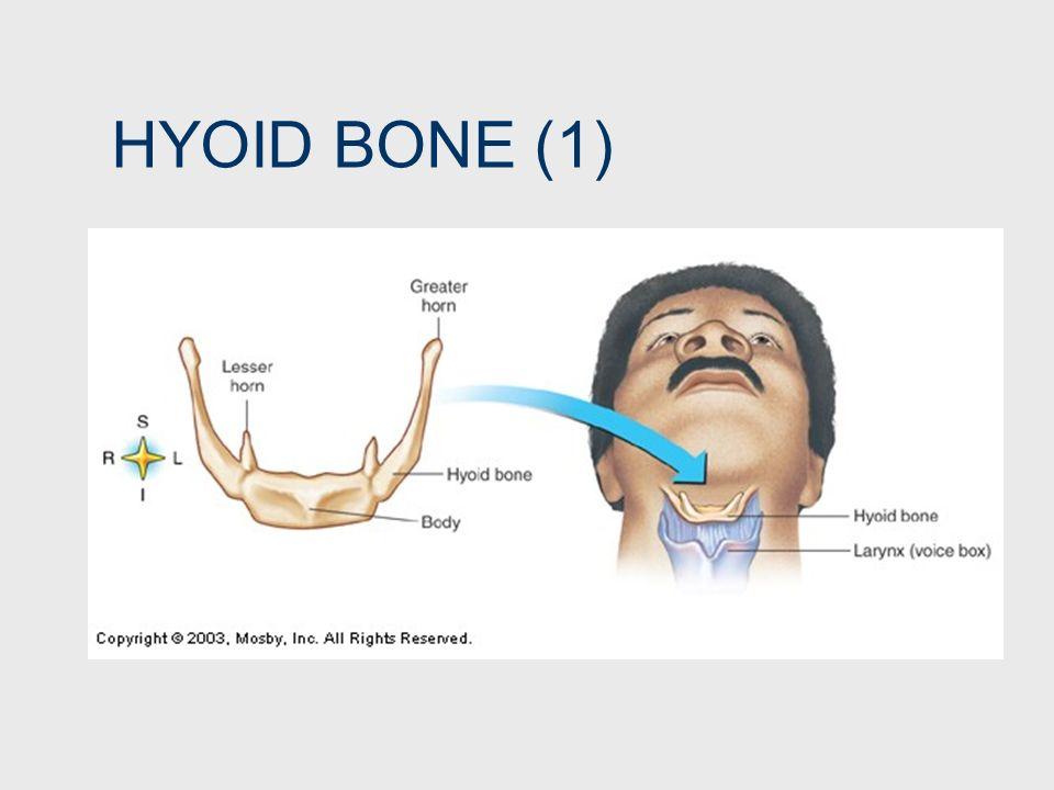 HYOID BONE (1)