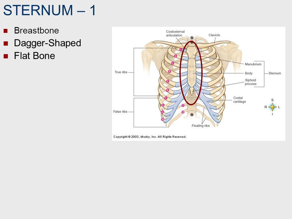 STERNUM – 1 Breastbone Dagger-Shaped Flat Bone