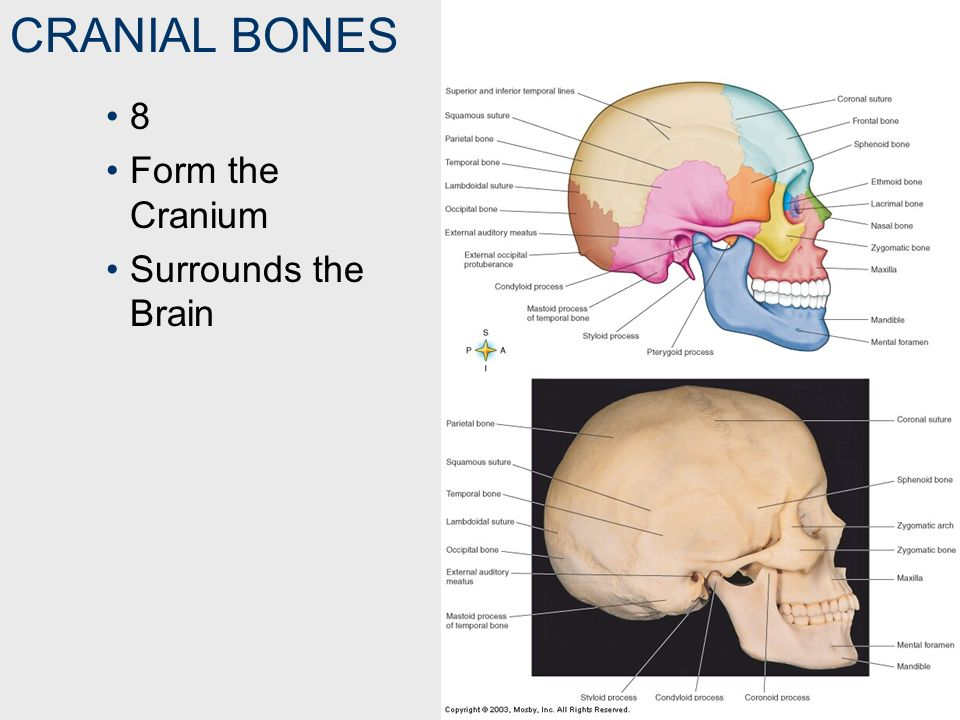 TEMPORAL BONE ZYGOMATIC PROCESS The Portion of the Temporal Bone That Joins the Zygomatic Bone Zygomatic Arch = Zygomatic Process (Temporal Bone) + Zygomatic Bone 1.Frontal bone 2.Parietal bone 3.Temporal bone 4.Greater wing of sphenoid