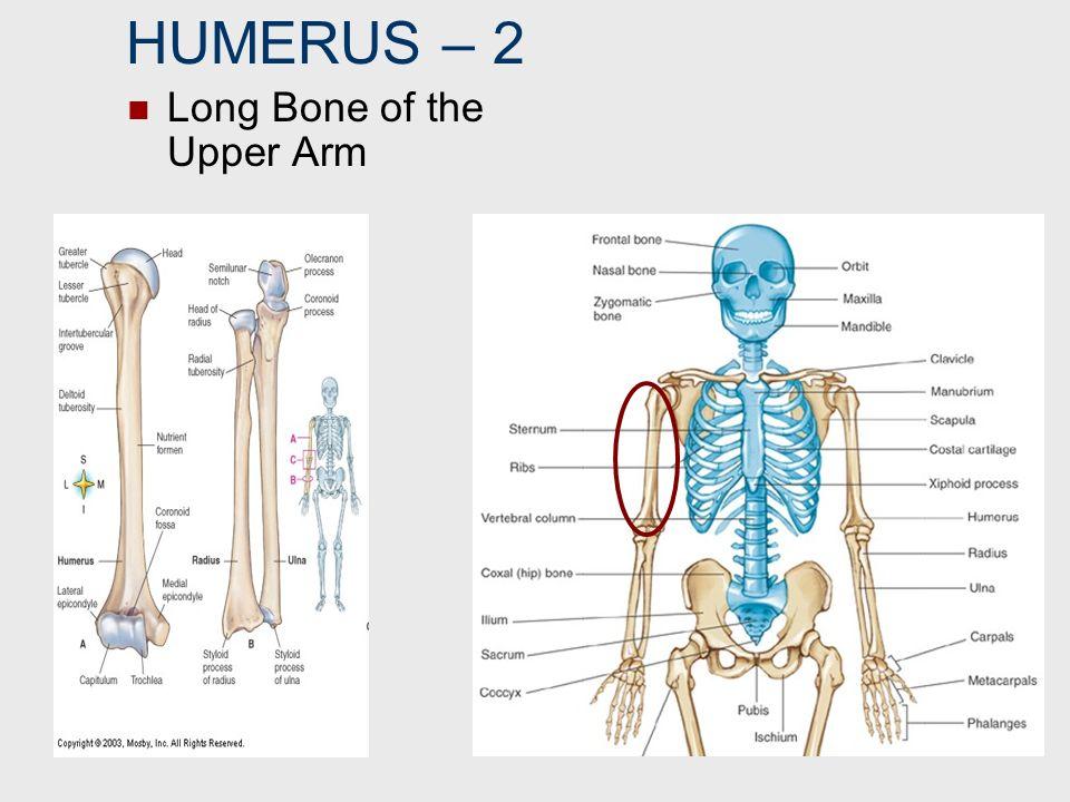HUMERUS – 2 Long Bone of the Upper Arm