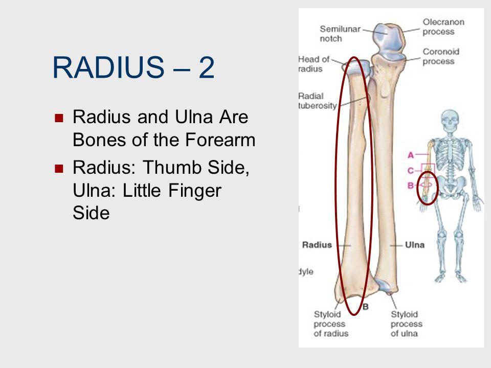 RADIUS – 2 Radius and Ulna Are Bones of the Forearm Radius: Thumb Side, Ulna: Little Finger Side