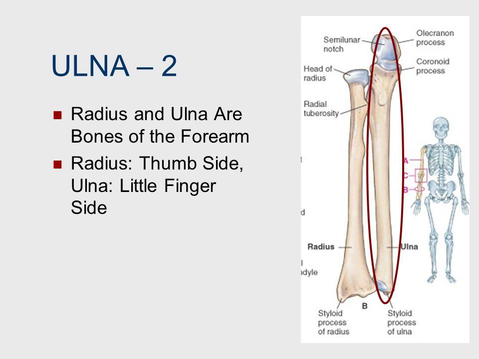 ULNA – 2 Radius and Ulna Are Bones of the Forearm Radius: Thumb Side, Ulna: Little Finger Side