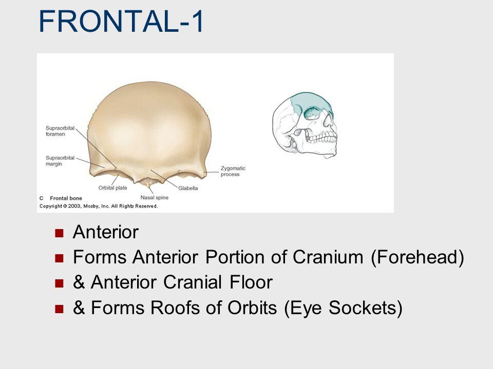 PARIETAL 2 Superior Forms Superior Portion of Cranium