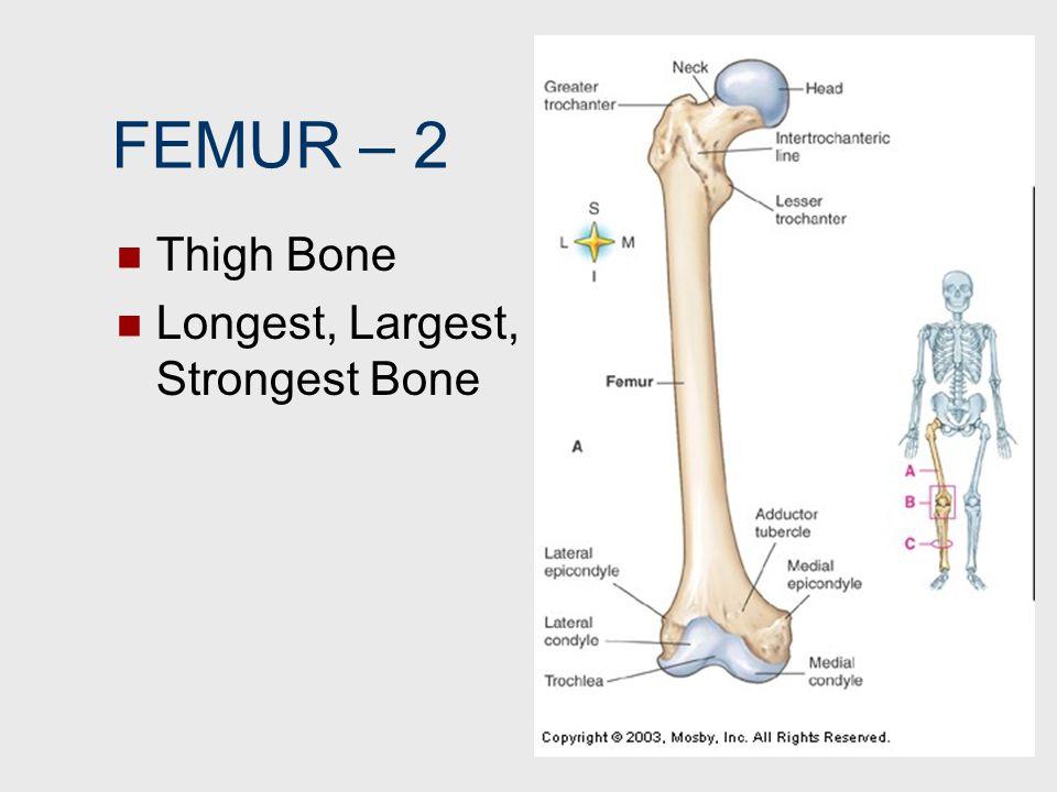FEMUR – 2 Thigh Bone Longest, Largest, Strongest Bone