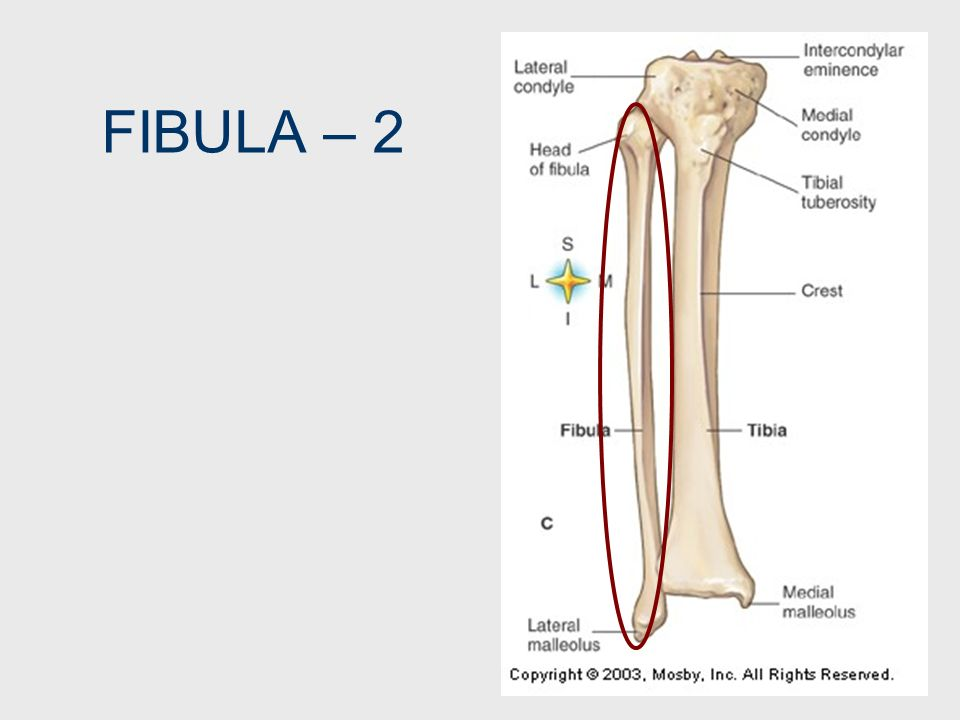 FIBULA – 2