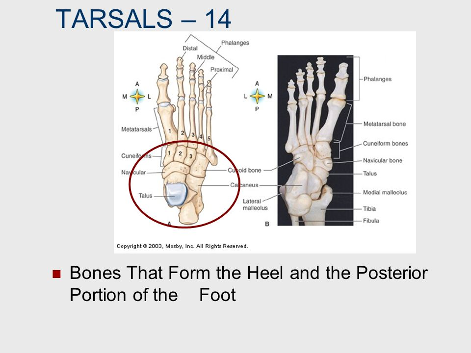 TARSALS – 14 Bones That Form the Heel and the Posterior Portion of the Foot