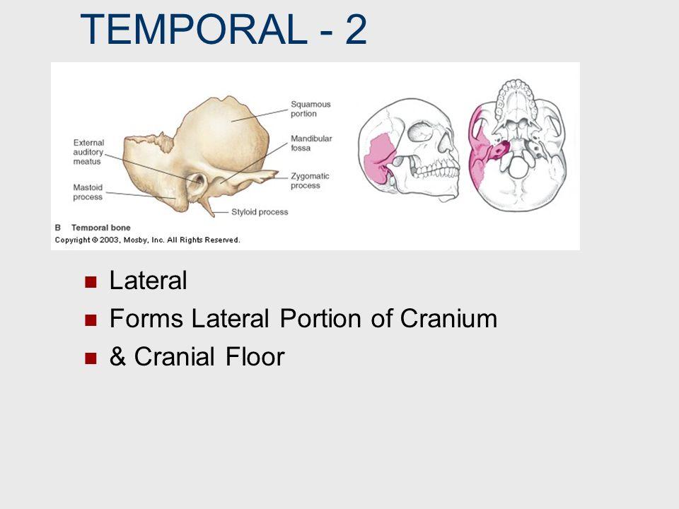 FRONTAL BONE SUPRAORBITAL FORAMEN Hole/Notch Above Orbit 2 May Be a Foramen/May Be a Notch (Varies)