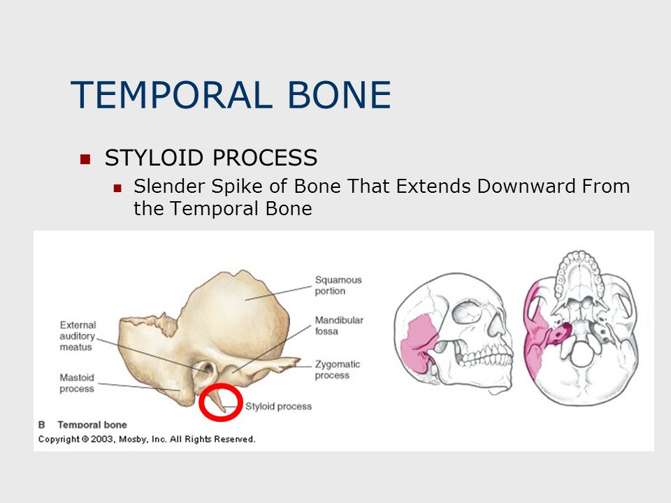 TEMPORAL BONE STYLOID PROCESS Slender Spike of Bone That Extends Downward From the Temporal Bone