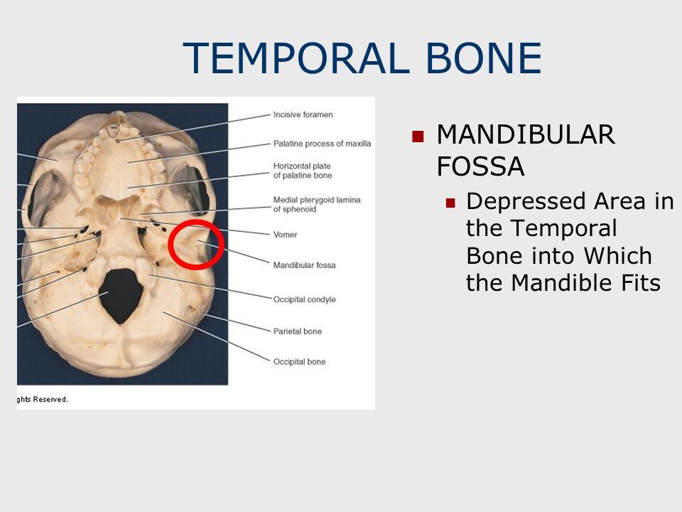 TEMPORAL BONE MANDIBULAR FOSSA Depressed Area in the Temporal Bone into Which the Mandible Fits