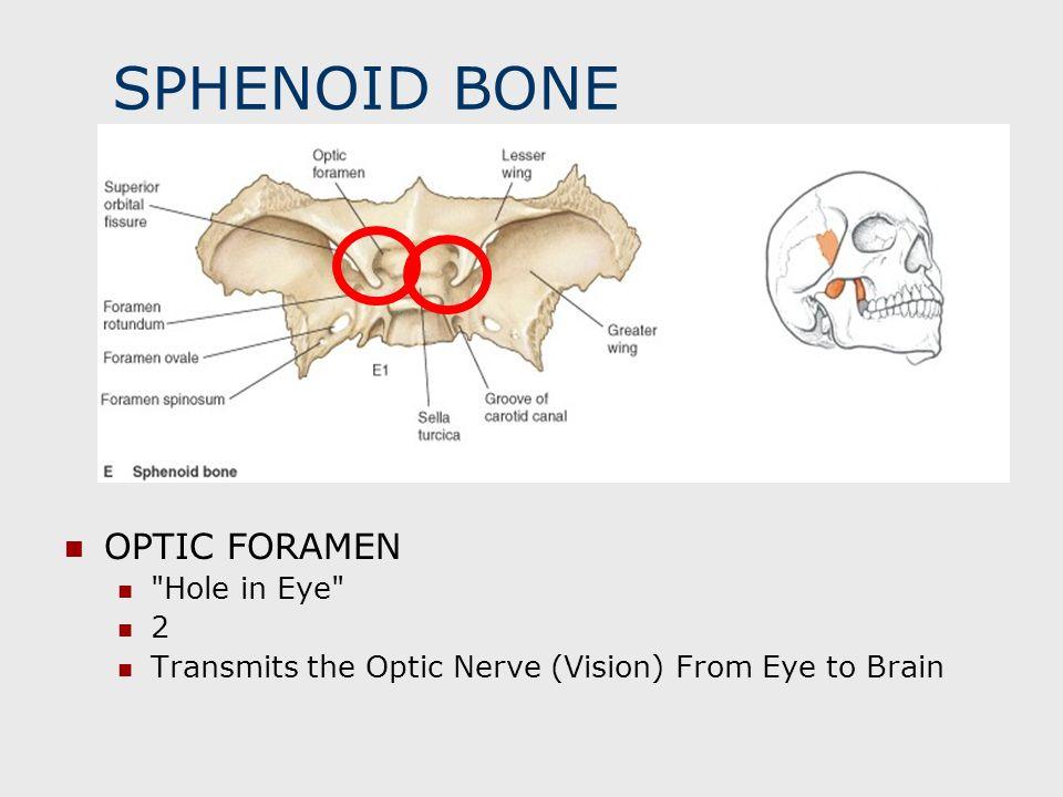 SPHENOID BONE OPTIC FORAMEN