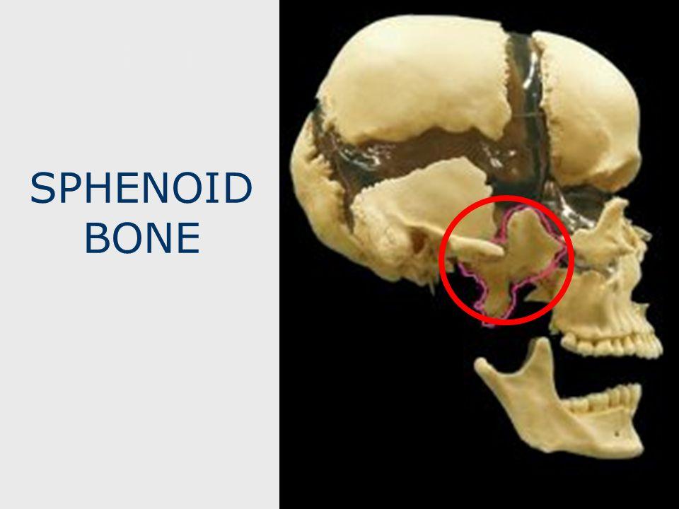 SPHENOID SPHENOID BONE