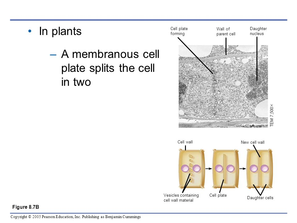 Copyright © 2005 Pearson Education, Inc. Publishing as Benjamin Cummings In plants –A membranous cell plate splits the cell in two Figure 8.7B TEM 7,5