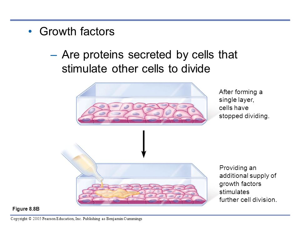 Copyright © 2005 Pearson Education, Inc. Publishing as Benjamin Cummings Growth factors –Are proteins secreted by cells that stimulate other cells to