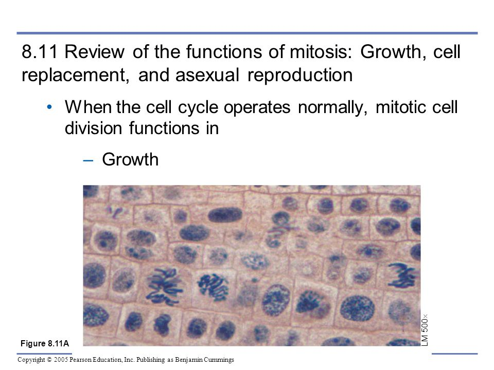 Copyright © 2005 Pearson Education, Inc. Publishing as Benjamin Cummings 8.11 Review of the functions of mitosis: Growth, cell replacement, and asexua