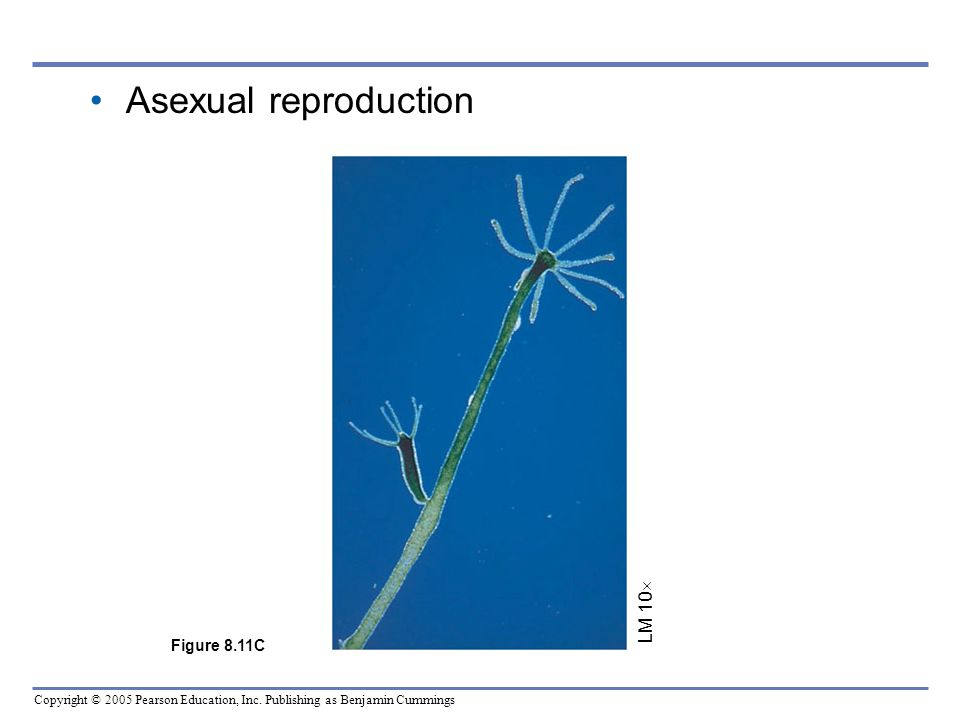 Copyright © 2005 Pearson Education, Inc. Publishing as Benjamin Cummings Asexual reproduction LM 10 Figure 8.11C
