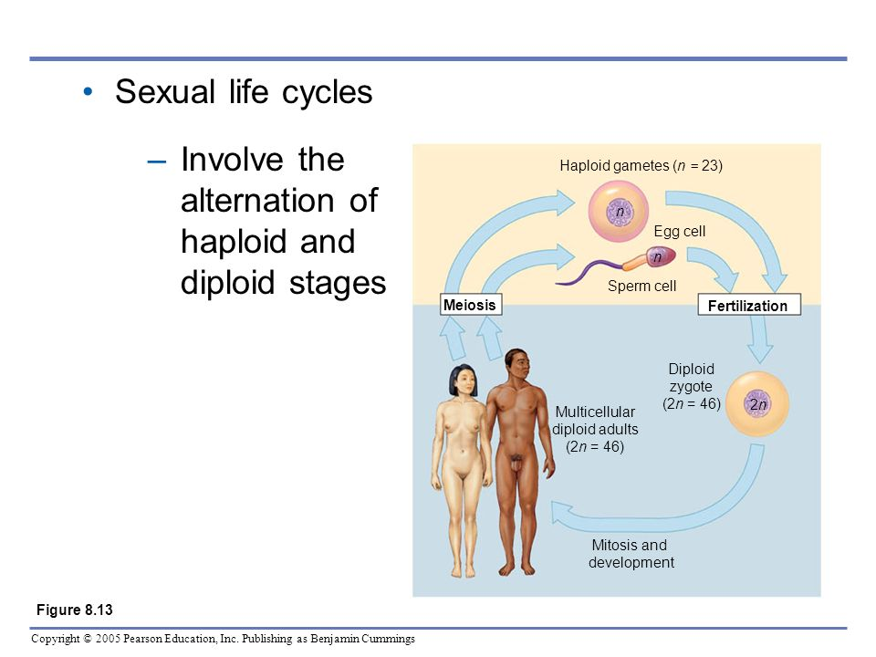 Copyright © 2005 Pearson Education, Inc. Publishing as Benjamin Cummings Sexual life cycles –Involve the alternation of haploid and diploid stages Mit