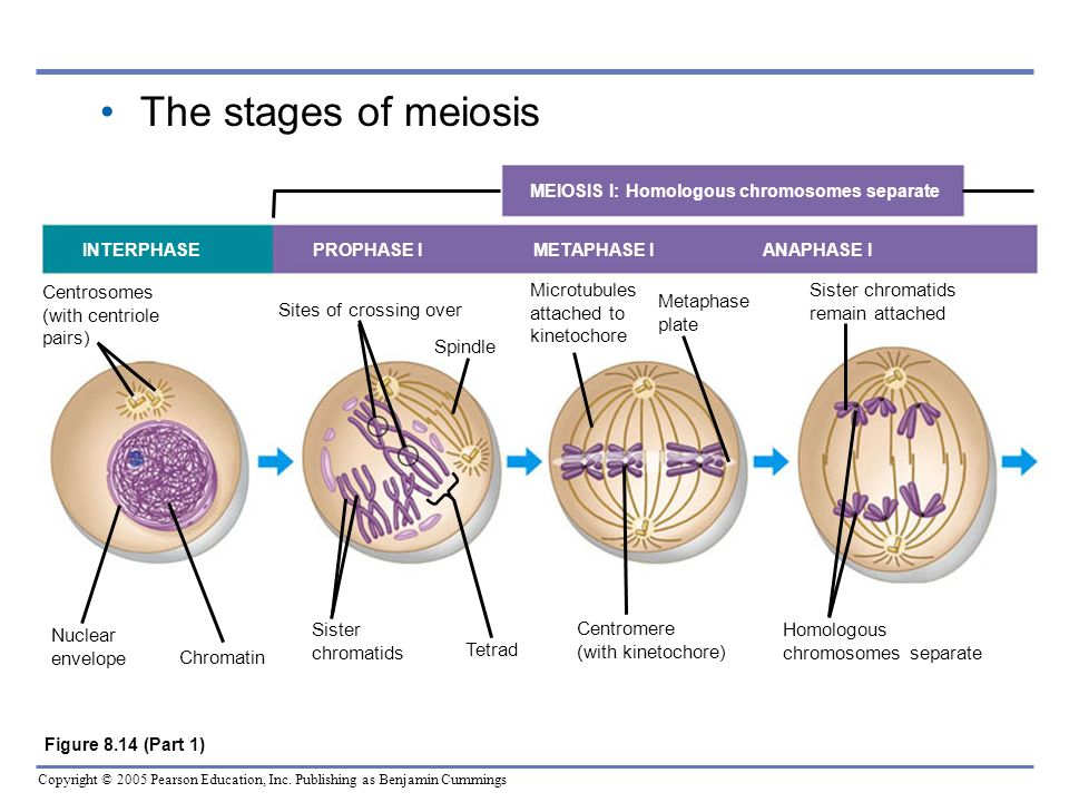 Copyright © 2005 Pearson Education, Inc. Publishing as Benjamin Cummings The stages of meiosis MEIOSIS I: Homologous chromosomes separate INTERPHASE P
