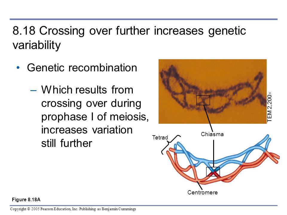 Copyright © 2005 Pearson Education, Inc. Publishing as Benjamin Cummings 8.18 Crossing over further increases genetic variability Genetic recombinatio