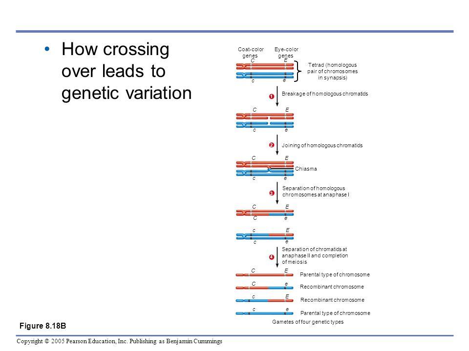Copyright © 2005 Pearson Education, Inc. Publishing as Benjamin Cummings Coat-color genes Eye-color genes Tetrad (homologous pair of chromosomes in sy