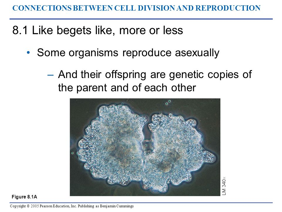 Copyright © 2005 Pearson Education, Inc. Publishing as Benjamin Cummings CONNECTIONS BETWEEN CELL DIVISION AND REPRODUCTION 8.1 Like begets like, more