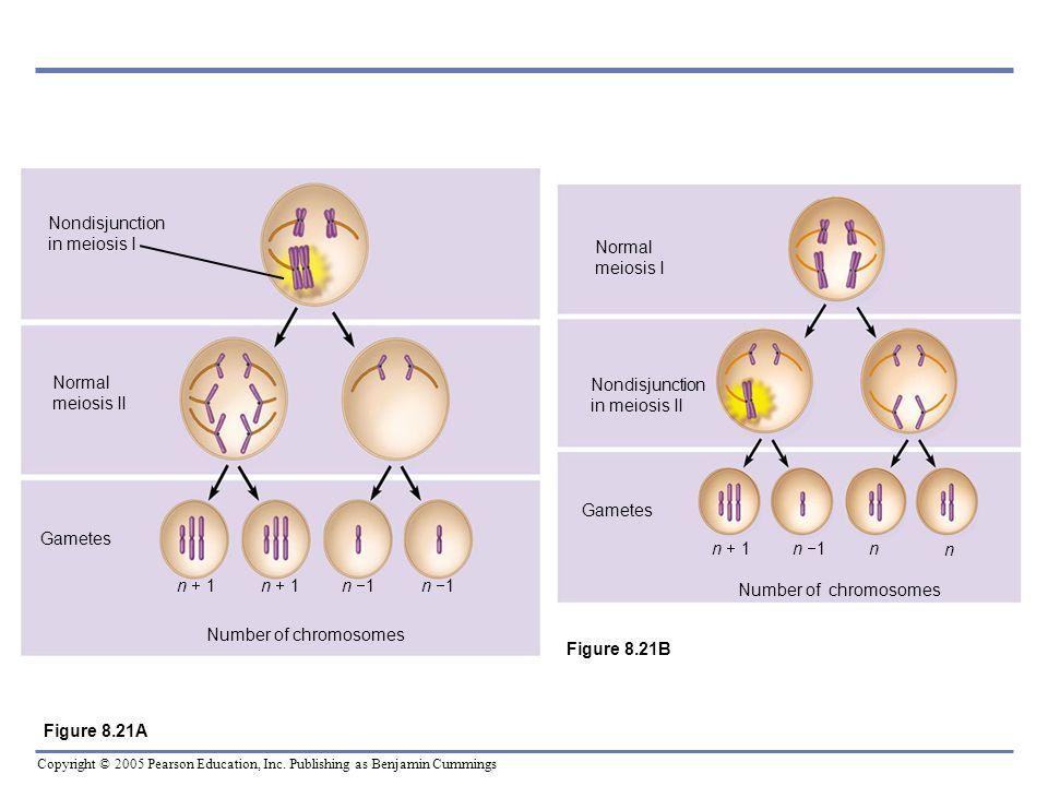 Copyright © 2005 Pearson Education, Inc. Publishing as Benjamin Cummings Nondisjunction in meiosis I Normal meiosis II Gametes n 1 Number of chromosom