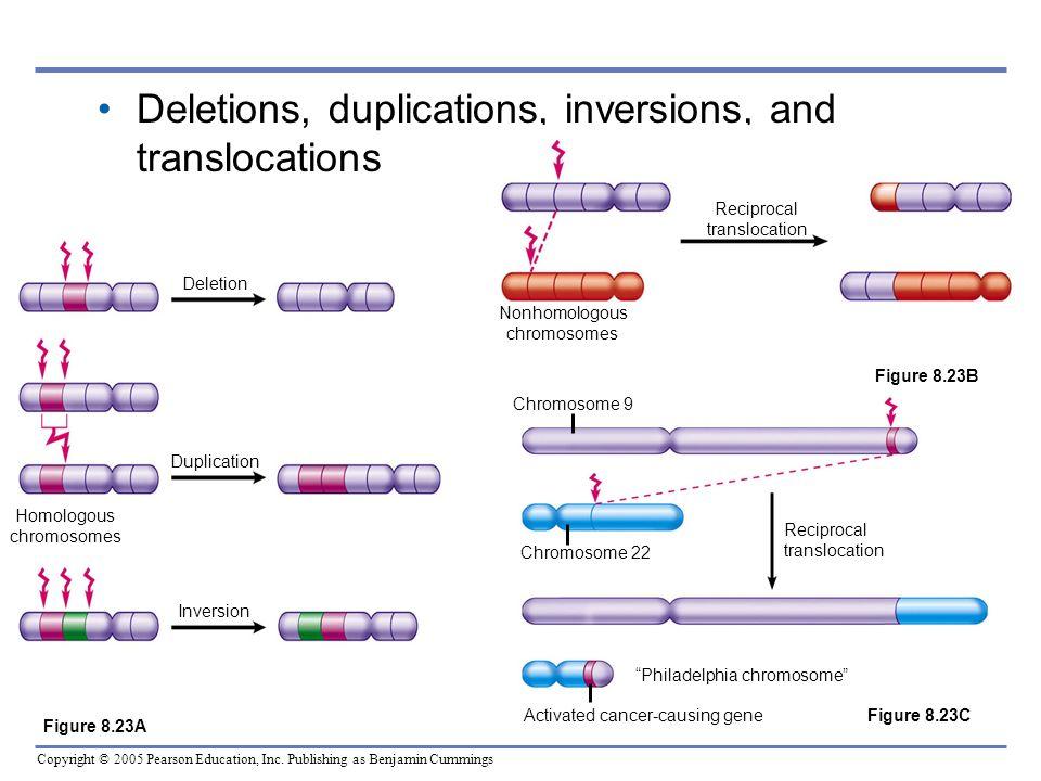 Copyright © 2005 Pearson Education, Inc. Publishing as Benjamin Cummings Deletions, duplications, inversions, and translocations Deletion Duplication