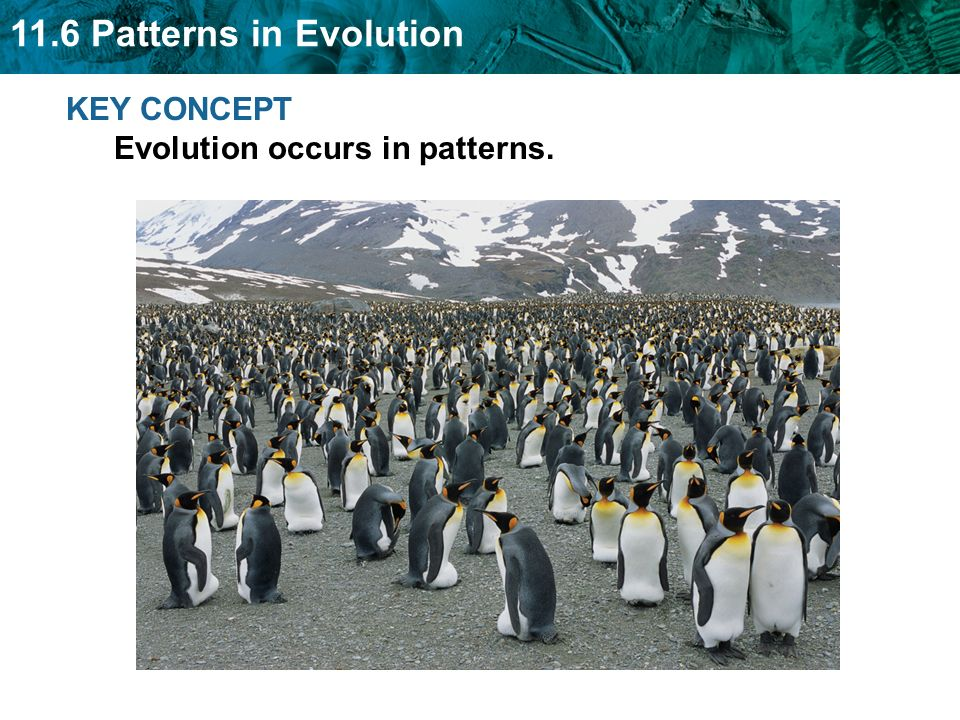 11.6 Patterns in Evolution Many species evolve from one species during adaptive radiation.