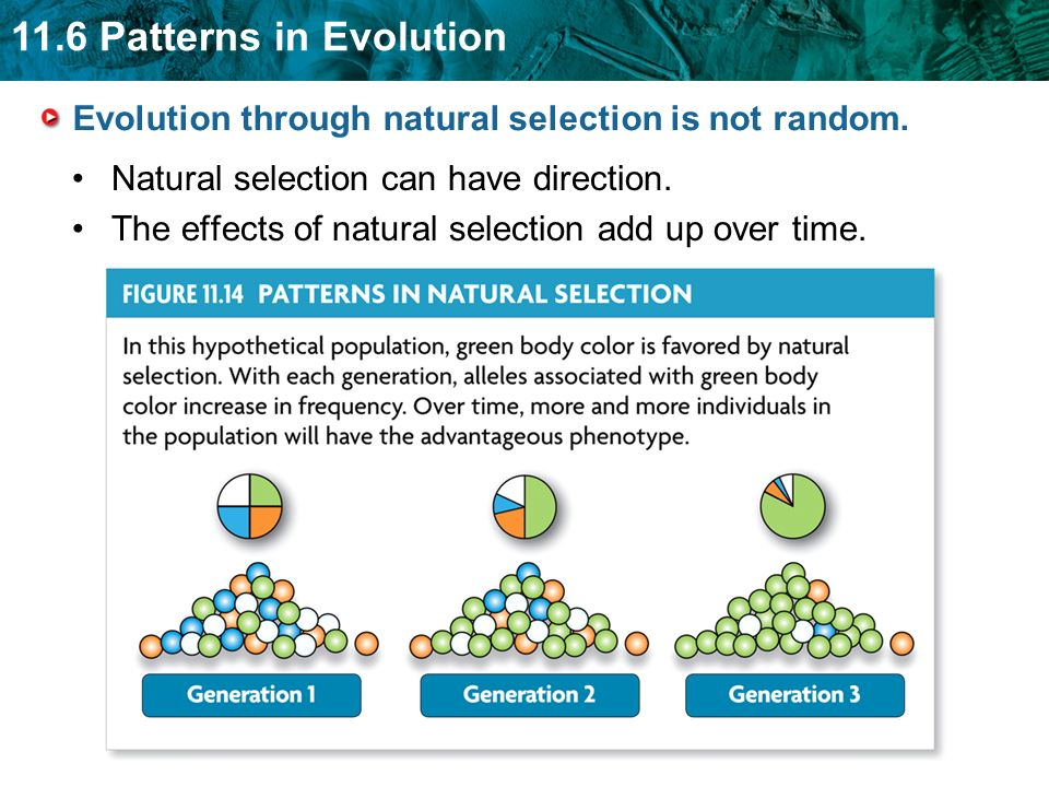 11.6 Patterns in Evolution Evolution through natural selection is not random. Natural selection can have direction. The effects of natural selection a