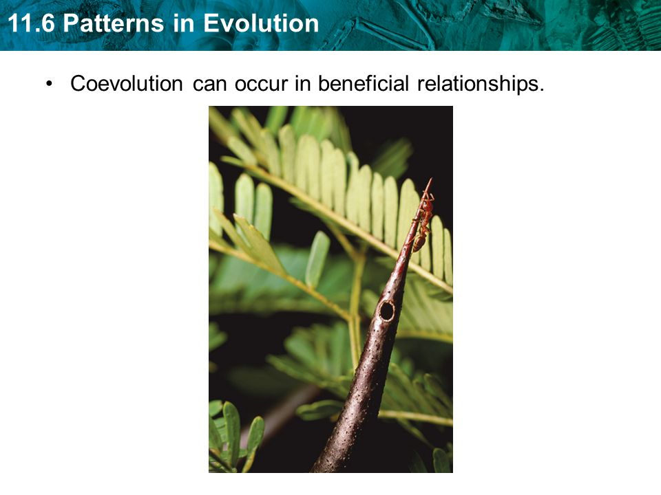 11.6 Patterns in Evolution Coevolution can occur in competitive relationships, sometimes called evolutionary.