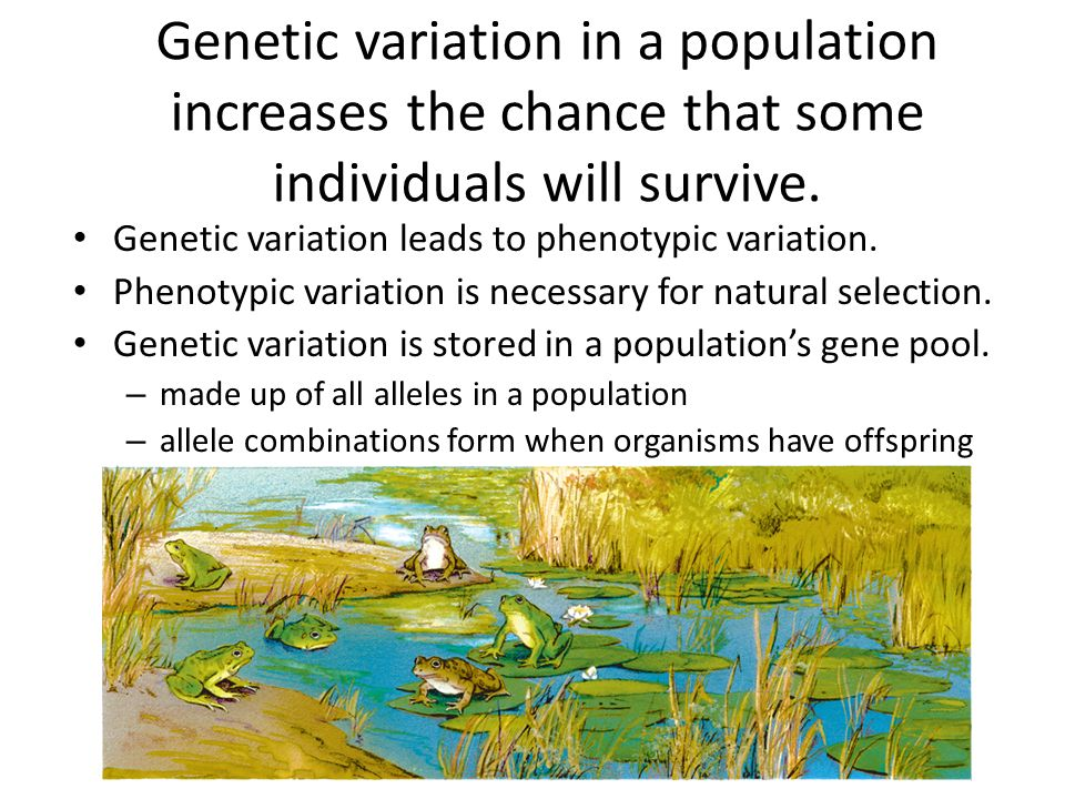 Genetic variation in a population increases the chance that some individuals will survive. Genetic variation leads to phenotypic variation. Phenotypic