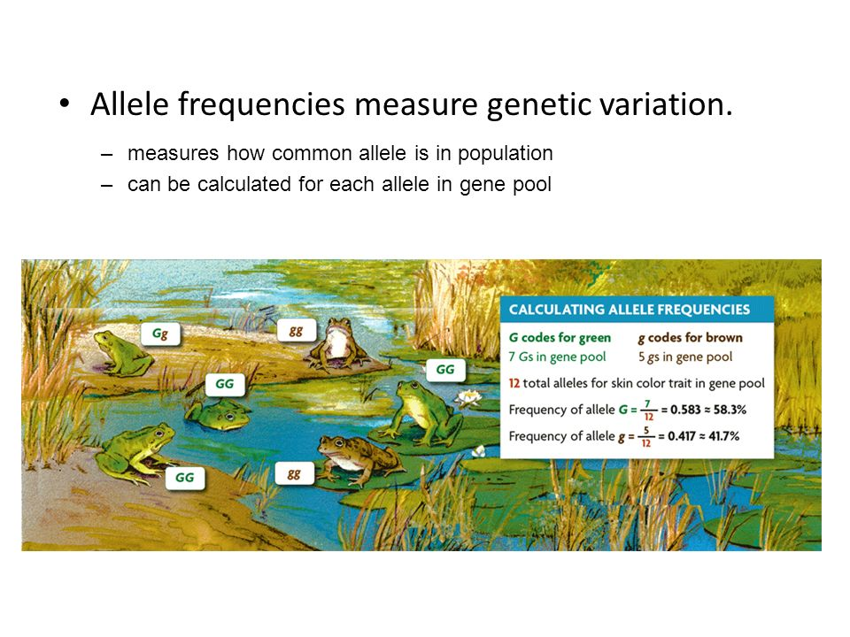 Allele frequencies measure genetic variation. –measures how common allele is in population –can be calculated for each allele in gene pool