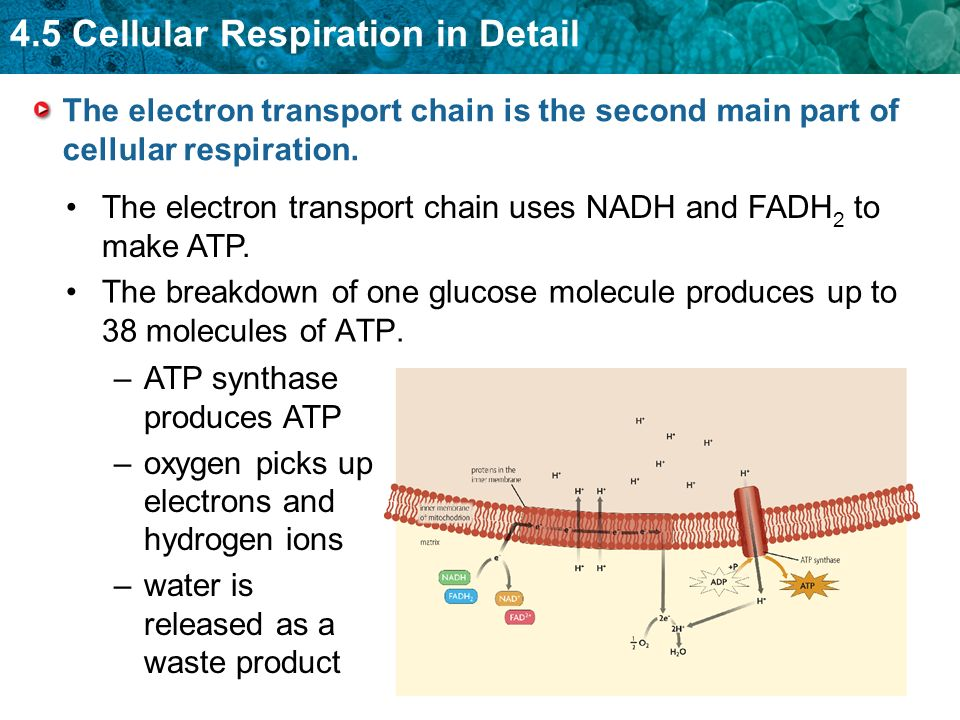 4.5 Cellular Respiration in Detail The breakdown of one glucose molecule produces up to 38 molecules of ATP. –ATP synthase produces ATP –oxygen picks
