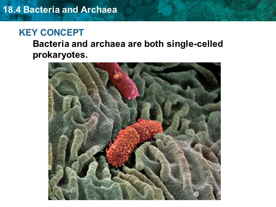 18.4 Bacteria and Archaea KEY CONCEPT Bacteria and archaea are both single-celled prokaryotes.