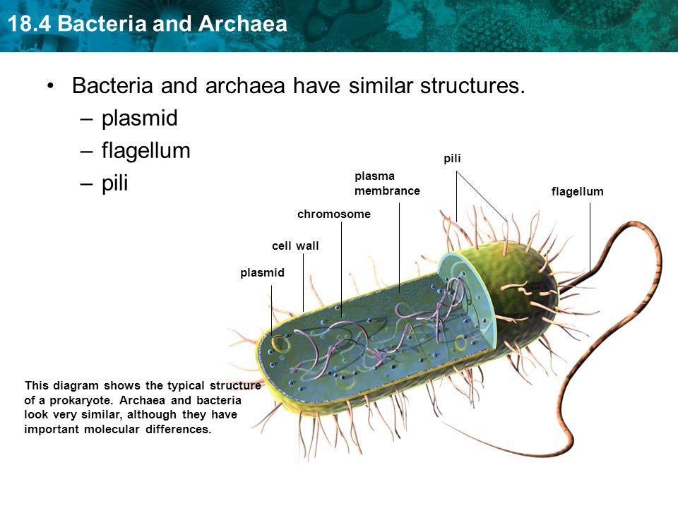 18.4 Bacteria and Archaea Bacteria and archaea have similar structures. flagellum pili plasmid cell wall chromosome plasma membrance This diagram show
