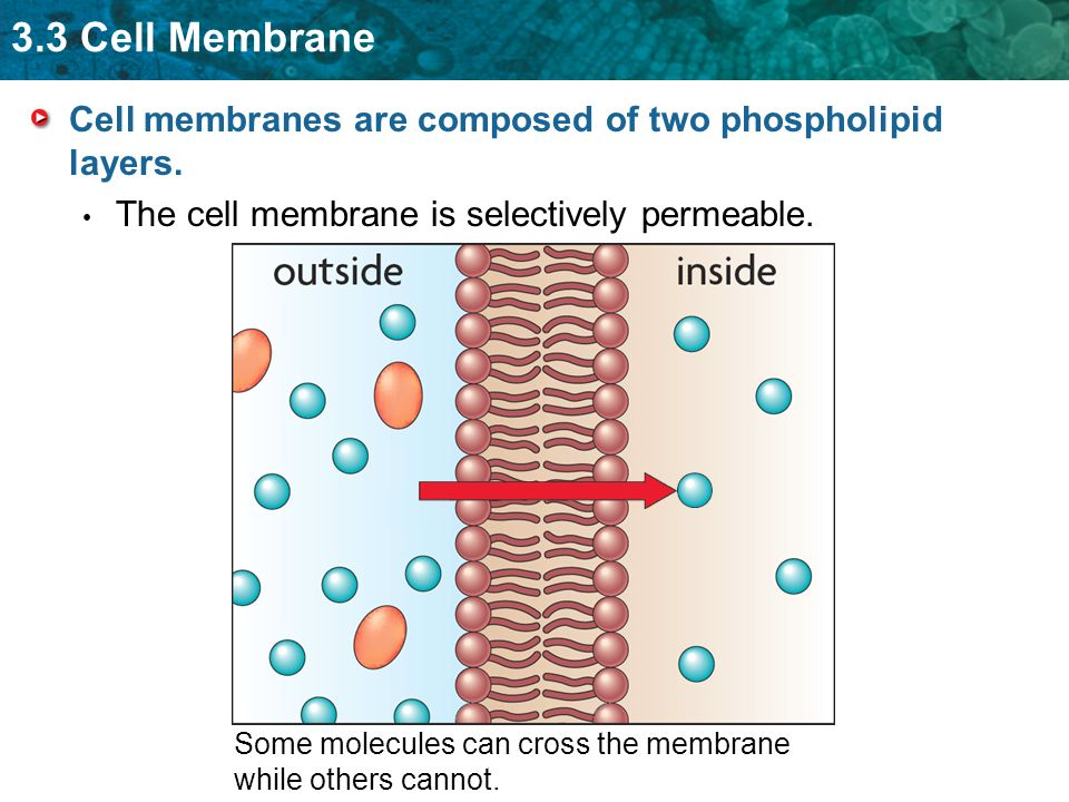 3.3 Cell Membrane Cell membranes are composed of two phospholipid layers. The cell membrane is selectively permeable. Some molecules can cross the mem