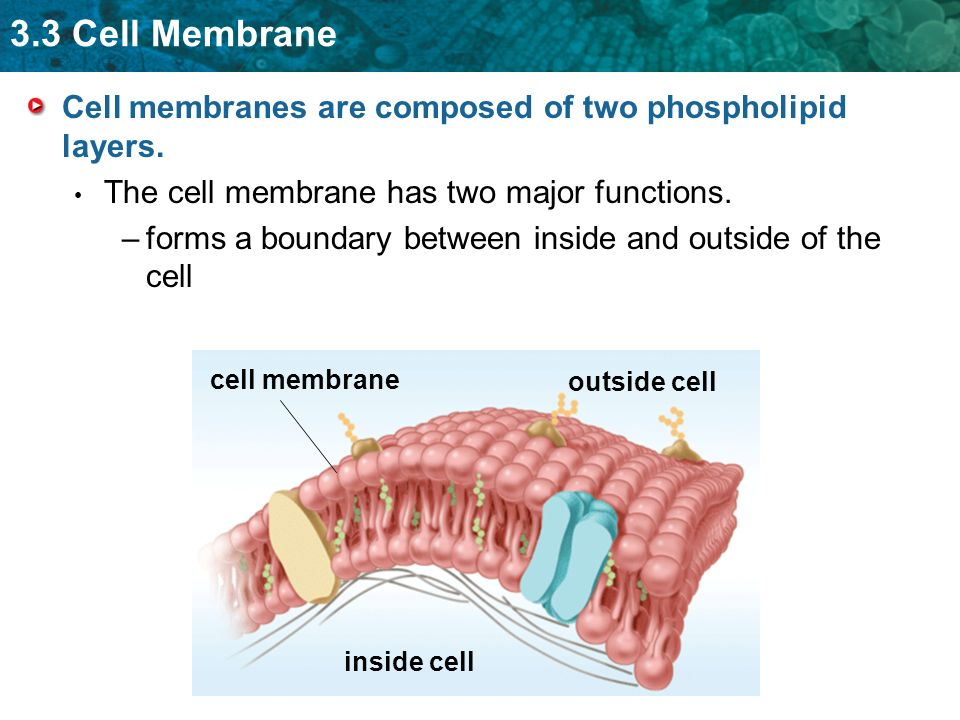 3.3 Cell Membrane Cell membranes are composed of two phospholipid layers. The cell membrane has two major functions. – –forms a boundary between insid