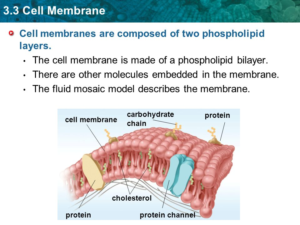 3.3 Cell Membrane cell membrane Cell membranes are composed of two phospholipid layers. The cell membrane is made of a phospholipid bilayer. There are