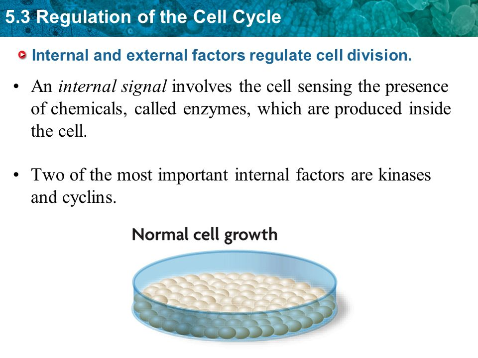 5.3 Regulation of the Cell Cycle Internal and external factors regulate cell division. An internal signal involves the cell sensing the presence of ch