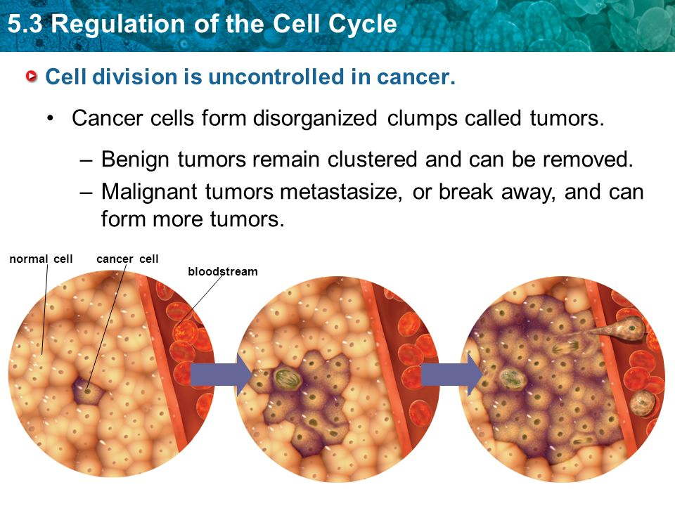 5.3 Regulation of the Cell Cycle Cell division is uncontrolled in cancer. Cancer cells form disorganized clumps called tumors. cancer cell bloodstream