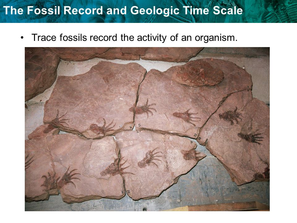 The Fossil Record and Geologic Time Scale Amber-preserved fossils are organisms that become trapped in tree resin that hardens after the tree is buried.