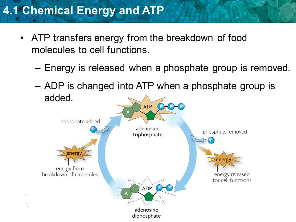 4.1 Chemical Energy and ATP Organisms break down carbon-based molecules to produce ATP.