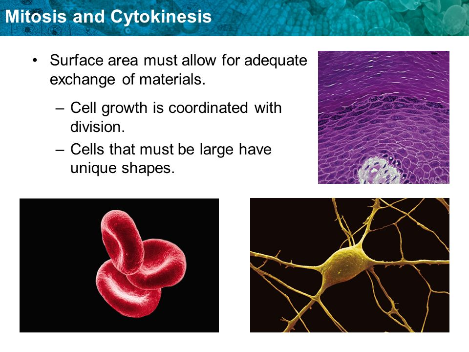 Mitosis and Cytokinesis Surface area must allow for adequate exchange of materials. –Cell growth is coordinated with division. –Cells that must be lar
