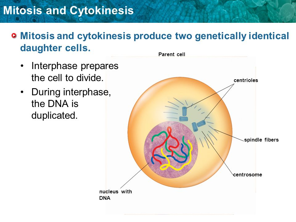 Mitosis and Cytokinesis Parent cell centrioles spindle fibers centrosome nucleus with DNA Interphase prepares the cell to divide. During interphase, t