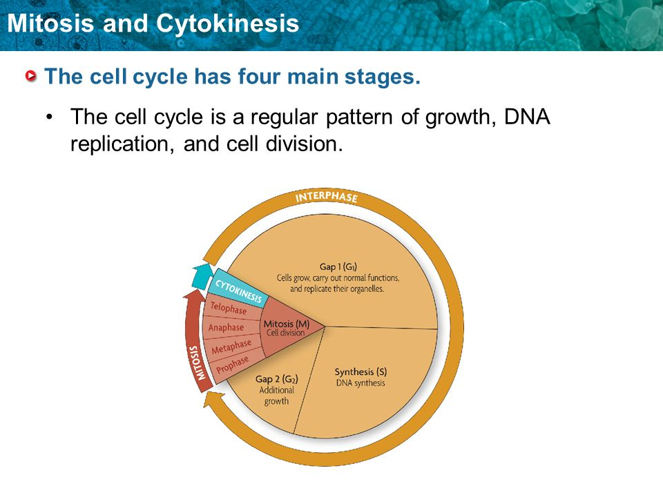 Mitosis and Cytokinesis The cell cycle has four main stages. The cell cycle is a regular pattern of growth, DNA replication, and cell division.