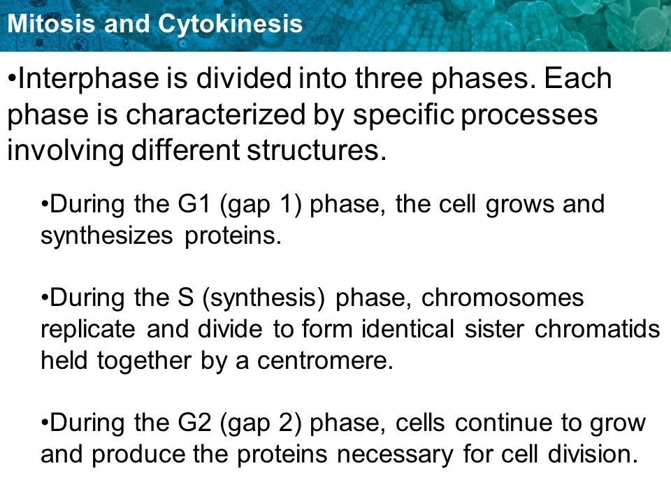 Mitosis and Cytokinesis Interphase is divided into three phases. Each phase is characterized by specific processes involving different structures. Dur